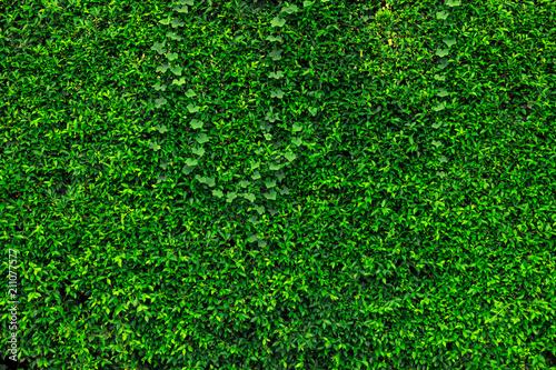 Backdrop of green leaves natural wall. - 211077577