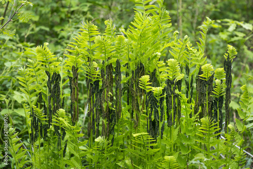 Interrupted ferns at Mt. Sunapee in Newbury, New Hampshire.