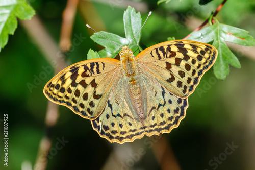 Photo  Mariposa. Argynnis pandora.