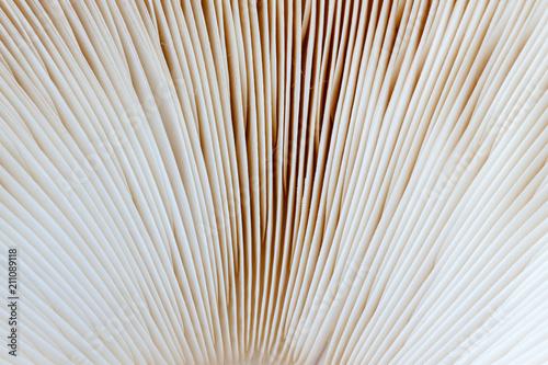 Fotografie, Obraz  Láminas de lepiota estrellada. Macrolepiota venenata.