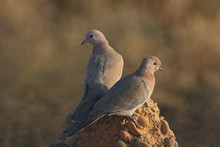 A Sign Of Peace, Laughing Dove...
