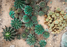 Cactus Of Various Shapes Grown In Sand Desert Terrain.Close-up