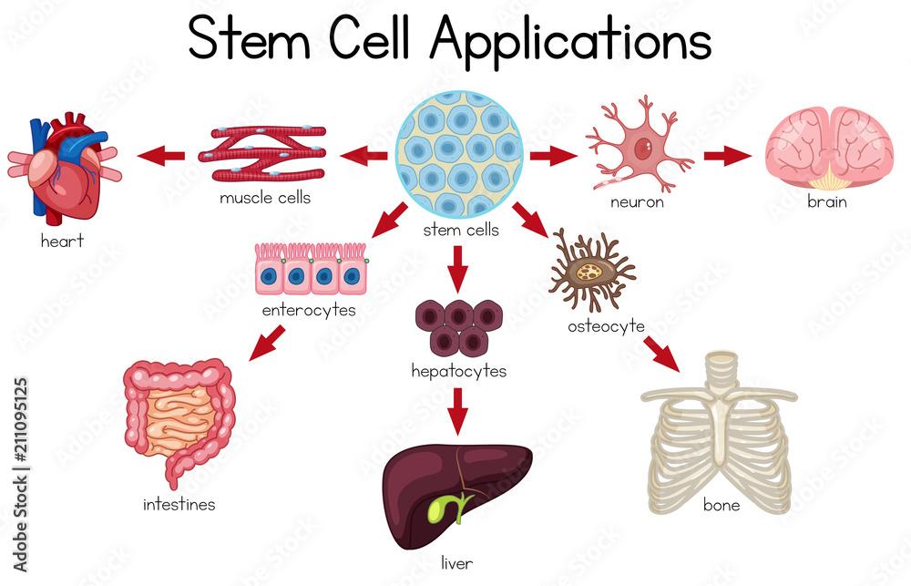 Fototapeta Stem Cell Applications diagram