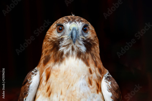Beautiful portrait of a brown hawk with brown plumage
