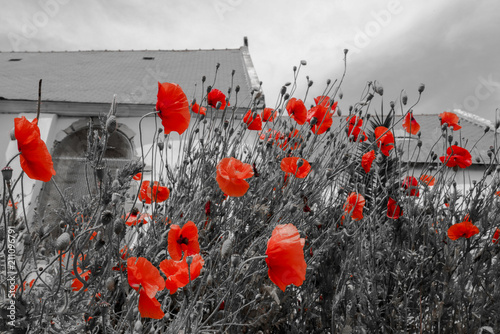 Fototapeta Black and white photography with romantic red poppy and church in the background obraz na płótnie