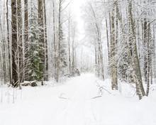 Vanishing Snow-covered Dirt Road Through Winter Forest. Novgorodsky Region, Russia