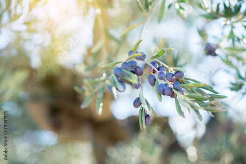 Aluminium Prints Bee Spanish olive grove, branch detail. Raw ripe fresh olives growing in mediterranean garden ready to harvest, soft focus.