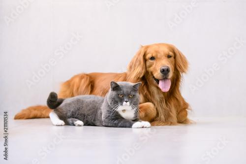 British short hair cat and golden retriever © chendongshan