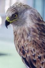 Red Kite Portrait Taxidermy Ob...