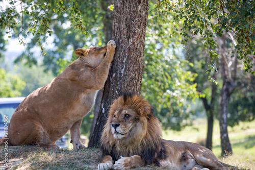 Staande foto Leeuw Lion and lioness beside a tree