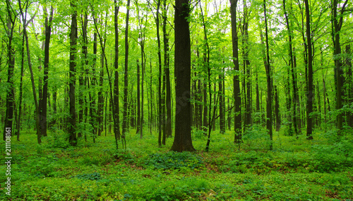 Spoed Fotobehang Bos green forest in spring