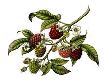 Raspberry Branch Botanical Vintage Illustration Clip Art Isolated On White Background