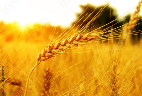 Wheat field on sun.