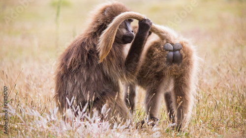 African monkeys combing pelage