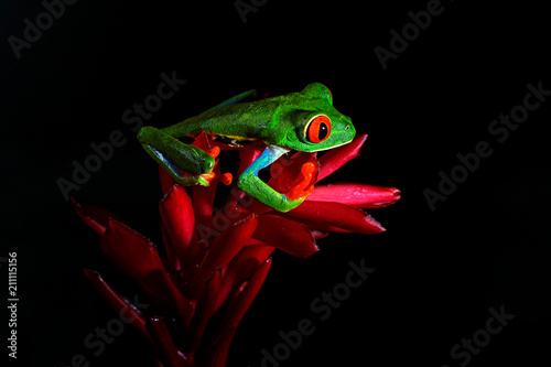 Red-eyed Tree Frog, Agalychnis callidryas, animal with big red eyes, in the nature habitat, Costa Rica. Beautiful amphibian in the forest, exotic animal from central America on red flower.