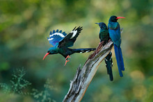 Green Wood Hoopoe (Phoeniculus...