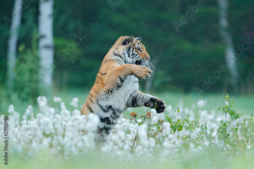 Siberian tiger in nature forest habitat, foggy morning. Amur tiger hunting in green grass. Dangerous animal, taiga, Russia. Big cat sitting in environment.