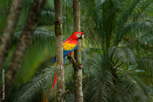 Red parrot Scarlet Macaw, Ara macao, bird sitting on the branch, Brazil. Wildlife scene from tropical forest. Beautiful parrot on tree freen tree in nature habitat.