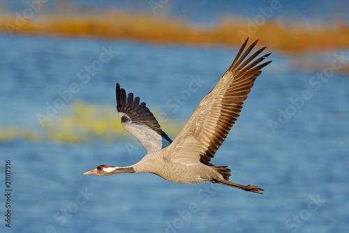 Naklejki żurawie  common-crane-grus-grus-flying-big-bird-in-the-nature-habitat-lake-hornborga-sweden-wildlife-fly-scene-from-europe