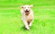 canvas print picture - Happy Golden Retriever dog runs on the grass