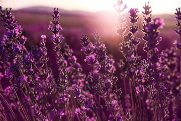 FototapetaColors of lavender at sunset. Lavender field in Bulgaria. Closeup