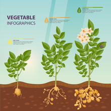 Infographic Or Infochart Of Potato Growth Stages