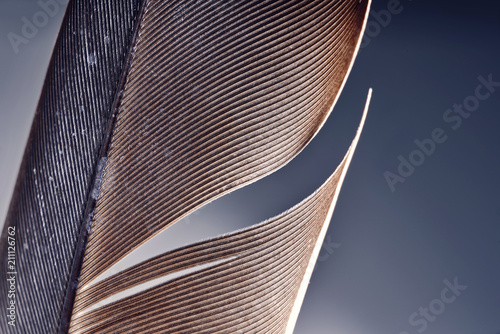 closeup of a brown bird feather isloated on background.
