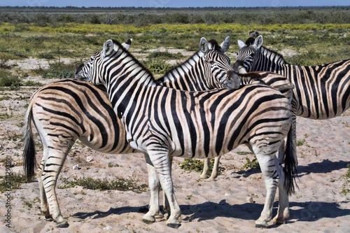 Damara zebra, Equus burchelli antiquorum, Grooming, Etosha, Namibia