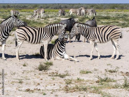 Fototapety, obrazy: Damara zebra, Equus burchelli antiquorum, Grooming, Etosha, Namibia