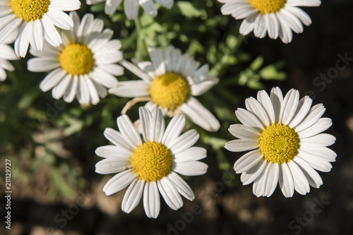 Foto op Canvas Madeliefjes Daisy flowers with a top view.