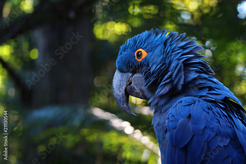 Obraz na plátně Close up of vivid blue Hyacinth Macaw, blue parrot portrait with blurred backgro