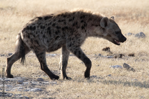Spotted hyena, Crocuta crocuta, in waterhole, Etosha National Park, Namibia