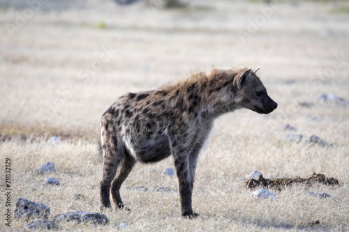 In de dag Hyena Spotted hyena, Crocuta crocuta, in waterhole, Etosha National Park, Namibia