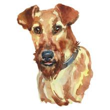 The Irish Red Terrier Watercol...