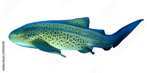Leopard Shark (Zebra Shark) isolated
