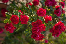 Bright Red Roses With Buds On ...