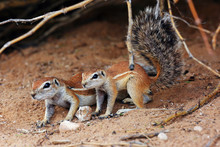 The Cape Ground Squirrel (Xeru...