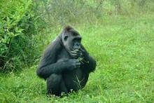 Gorilla Im Zoologischen Garten...