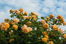 Yellow Roses On A Bush In A Summer Garden. Close-up Of Garden Rose In The Summer Sunny Day.