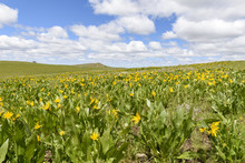 Mules Ears And Lupine Coloring The Hillsides Of Southwestern Idaho And Southeastern Oregon