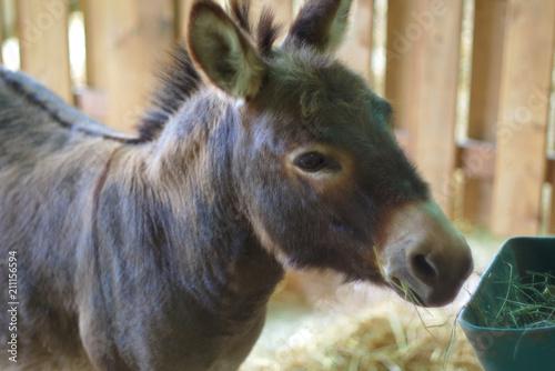 Poster Ezel donkey jackass gray mammal farming agriculture livestock