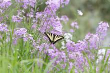 Western Tiger Swallowtail Butterfly