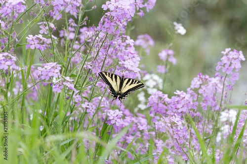 Photo Western Tiger Swallowtail butterfly