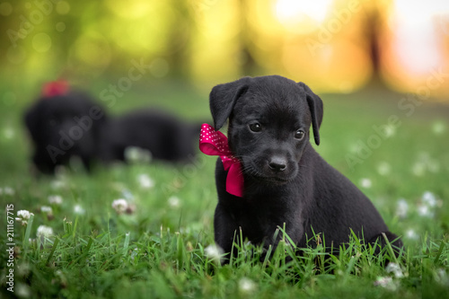 Obraz puppies in the grass with bow  - fototapety do salonu