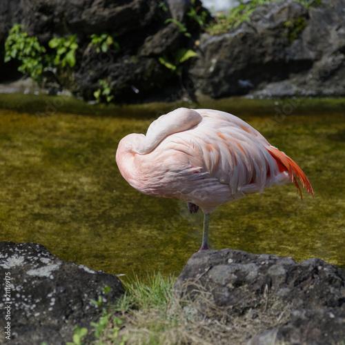 Poster Flamingo flamant rose