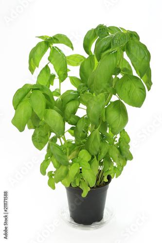 Obraz Bazylia zielona w doniczce na białym tle. - fototapety do salonu