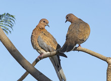 Mated Pair Of Laughing Doves P...