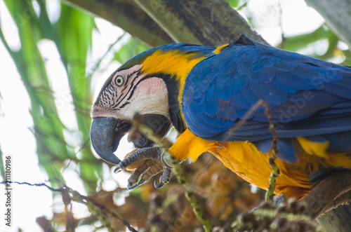 Fotografija  Beautiful Blue-and-yellow Macaw (Ara ararauna) in the Brazilian wetland