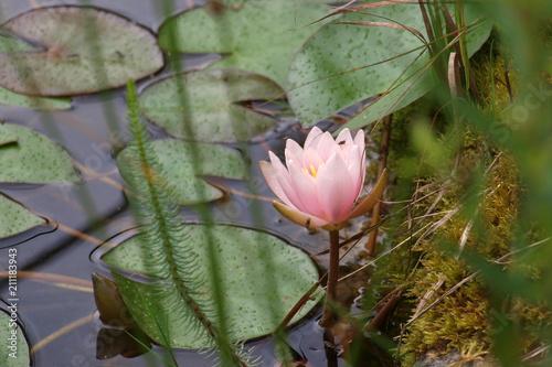 Deurstickers Waterlelies Seerose, Nymphaea