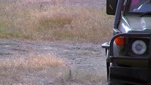 Cub And Mother Lion Passing Truck